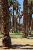Palm avenue in the oasis — Stock Photo