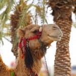 Постер, плакат: A camel in oasis in desert