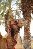 Um camelo no oásis no deserto — Fotografia Stock