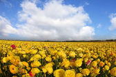 The brightly yellow and red buttercups — Stock Photo