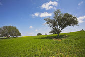 The grass, camomiles and trees — Stock Photo