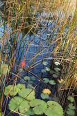 Charmante lelies worden weerspiegeld in een vijver — Stockfoto