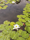 A pond with a blossoming white lily in the spring — Stock Photo