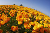 Tarih bir gün batımı turuncu düğünçiçekleri alan — Stok fotoğraf