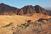 Wild goat in mountains of Eilat, coast of Red sea — Stock Photo