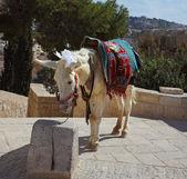 エルサレムで白いロバ — ストック写真