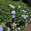 Stock Photo: Luxuriantly flowering shrubs