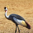 Elegant  bird - Crowned crane - Stock Photo