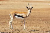 A graceful Thomson Gazelle — Stock Photo