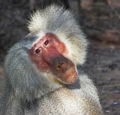 The silvery baboon thoughtfully poses for spectators — Stock Photo