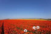 Huge field of red buttercups — Stock Photo