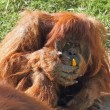 Huge hairy orangutan eats yellow peppers - Foto de Stock