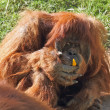 Huge hairy orangutan eats yellow peppers - Stockfoto