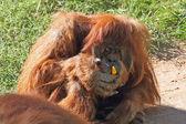 Huge hairy orangutan eats yellow peppers — Stock Photo