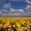 The blossoming buttercups — Stock Photo