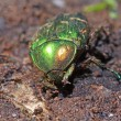 Stock Photo: Cockchafer