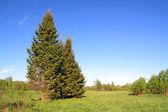 Green fir tree on spring field — Stock Photo