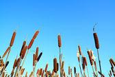 Marsh bulrush on celestial background — Stock Photo