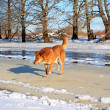 Redhead dog on river ice - Zdjęcie stockowe