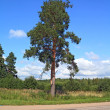 Green pine near rural road — Stock Photo