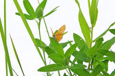 Butterfly on herb on white background — Stock Photo