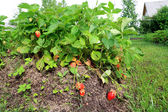 Red strawberries in rural vegetable garden — Stock Photo