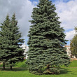 Big green fir tree in town park — Foto Stock