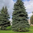 Big green fir tree in town park — Stock Photo