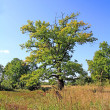 Big oak on autumn field — Stock Photo