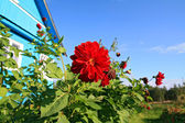 Red flowerses near rural building — Stock Photo