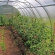 Young tomatoes in plastic hothouse — Stock Photo