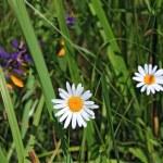 weiße Daisywheels auf Gemüse Hintergrund — Stockfoto