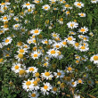 White daisywheels on green field — Stockfoto