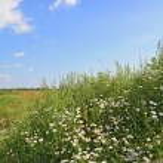 weiss daisywheels auf sommer feld — Stockfoto