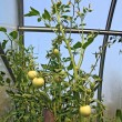 Green tomatoes in plastic to hothouse — Stock Photo