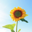 Yellow sunflower on celestial background — Stock Photo #9583809