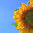 Yellow sunflower on celestial background — Stock Photo #9583813