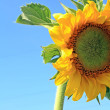Stock Photo: Yellow sunflower on celestial background