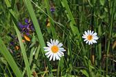 White daisywheels on vegetable background — Stock Photo