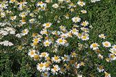 White daisywheels on green field — Stock Photo