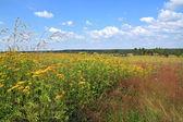 Yellow flowerses on summer field — Stock Photo