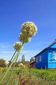 Ripe onion near rural building — Stock Photo