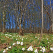 Stock Photo: Spring snowdrops near wood