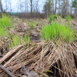 Spring sedge amongst dry herb — Stock Photo #9834684
