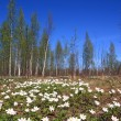 White snowdrops in spring wood — стоковое фото #9834707