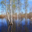 Spring flood in birch wood — Stock Photo