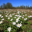 Stock Photo: White snowdrops on spring field