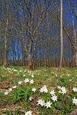 Spring snowdrops near wood — Stock Photo
