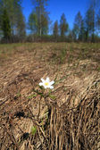 Spring snowdrop amongst dry herb — Stock Photo