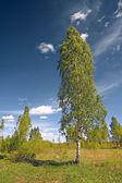 Green birch near rural road — Stock Photo